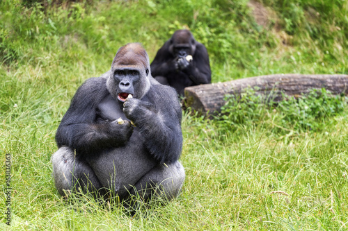 Silverback eating female in the background Poster