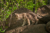 Grey Wolf (Canis lupus) Pup Walks Out of Rocks