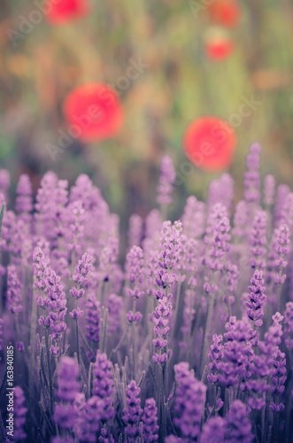 Lavender and red poppies flowers, blooming meadow