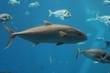 tuna - bluefin tuna swimming underwater alive with copy space background, known as  Atlantic bluefin tuna (Thunnus thynnus) , northern bluefin tuna, giant bluefin tuna or tunny.