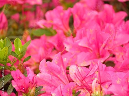 Fotobehang Azalea azalea macro photography