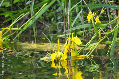 Flowers yellow iris pseudacorus or marsh in the wild