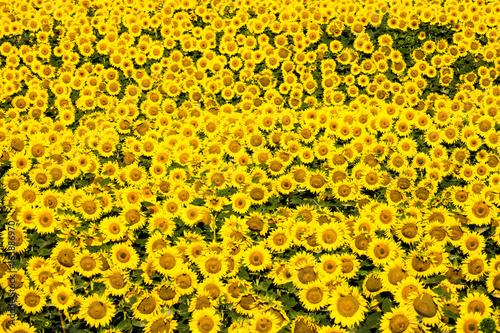 Papiers peints Jaune Sonnenblume