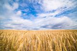 A field of ripe wheat road and a blue sky with clouds. Panoramic view