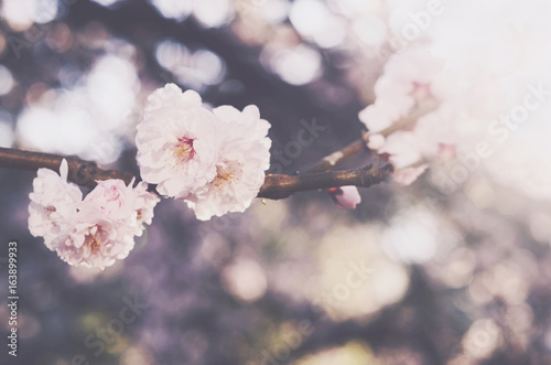 Blooming sakura flower, springtime background - 163899933