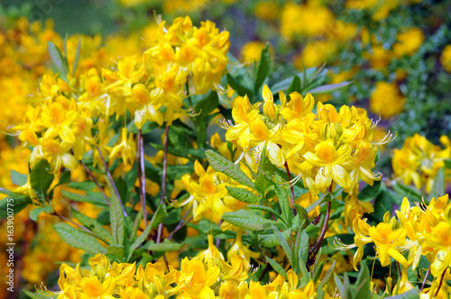 yellow Azalea bush blooming in springtime