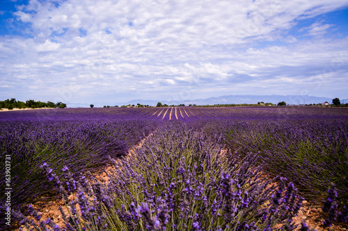 Fotobehang Aubergine Lavender fields in France
