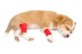 Elastic bandage on chihuahua dog's leg on white background