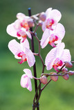 Orchid flower plant close up with pink petals on green nature background