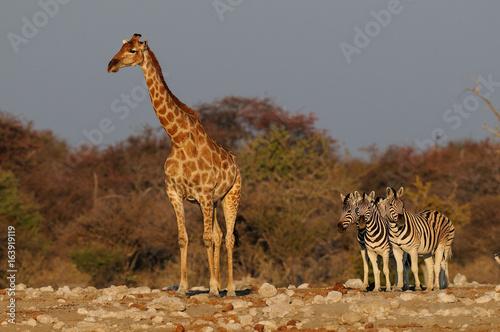 Poster Giraffe mit Gruppe Zebras, groß und klein, Etosha Nationalpark, Namibia
