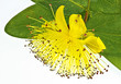 St John's wort flower closeup, hypericum clycinum or Rose of Sharon