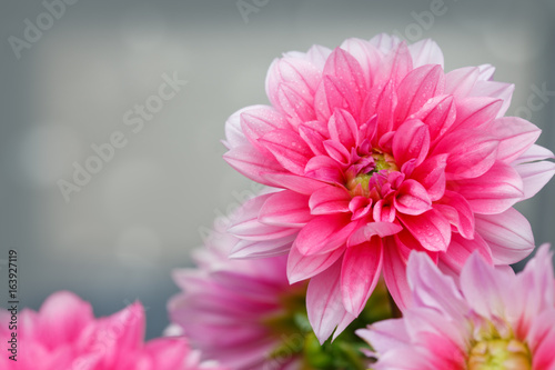 macro-shot-of-a-pink-dahlia-isolated-on-gray