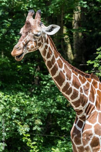 Giraffe - Giraffa camelopardalis Poster