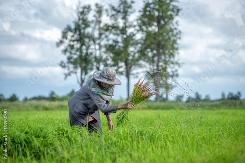Transplant rice seedlings in rice field, Asian farmer is withdrawn seedling and kick soil flick of Before the grown in paddy field,Thailand, Farmer planting rice in the rainy season.