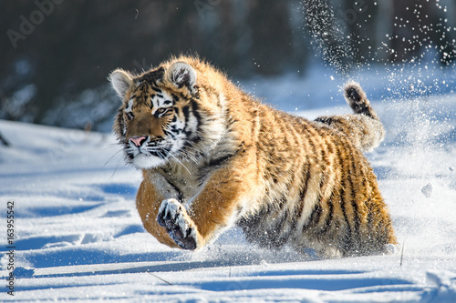 Aluminium Tijger Siberian Tiger in the snow (Panthera tigris)