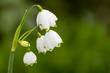 Leinwanddruck Bild - Frühlingsknotenblume