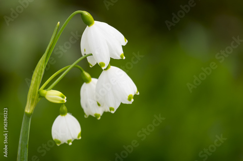 Leinwanddruck Bild Frühlingsknotenblume