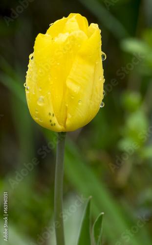 Leinwanddruck Bild Gelbe Tulpe mit Regentropfen und Blattläusen