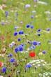 poppy and cornflower wildflowers in meadow background copy space