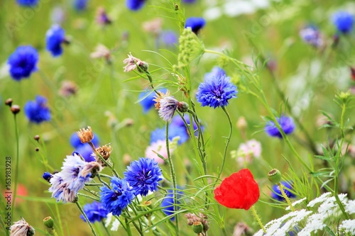 poppy background and cornflower wildflowers in meadow background copy space