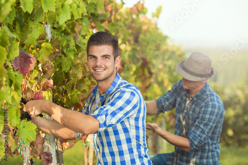 Two young vintners picking grapes in vineyard during the autumn harvest
