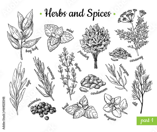 Herbs and Spices. Hand drawn vector illustration set. Engraved style flavor and condiment drawing. Botanical vintage food sketches.