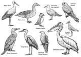 Collection of birds illustration, drawing, engraving, ink, line art, vector