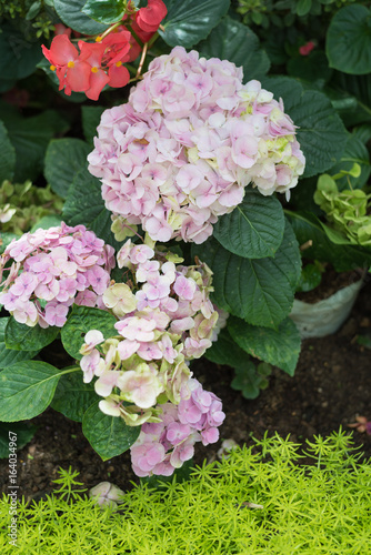 Hydrangea in a beautiful garden