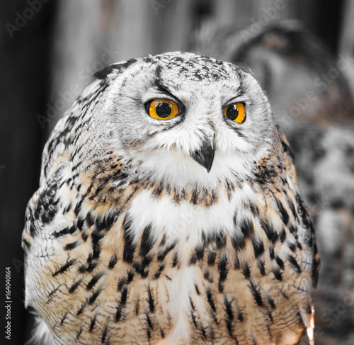 Portrait of an eagle owl at the zoo