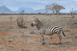 Single zebra standing in savanna.