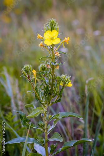 Foto op Plexiglas Kiev Open yellow Oenothera Biennis flower, also known as common evening-primrose, evening primerose,evening starand sun drop. The flowers open at evening in summer