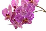 Orchideen, Orchidaceae