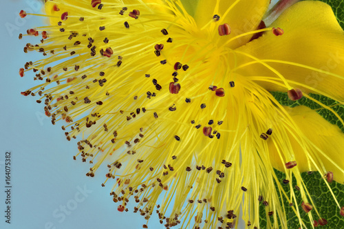 Hypericum clycinum or Rose of Sharon or St John's wort in closeup Photo by ray8