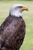 Bald eagle - 164082915