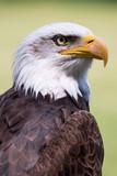 Bald eagle - 164082933