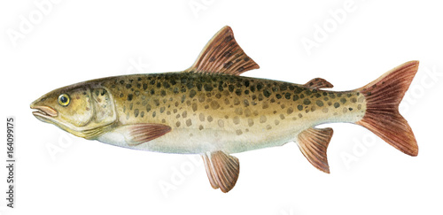Freshwater fish of the Far East - Brachymystax lenok, Isolated on a white background, drawings watercolor - 164099175