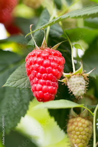 Organic ripe red raspberries on the bush.