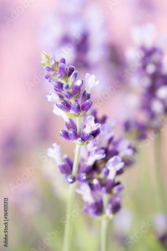 Obraz na płótnie Lavender flowers.