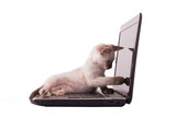 Adorable Siamese kitten pointing at the screen of a laptop computer, isolated on white