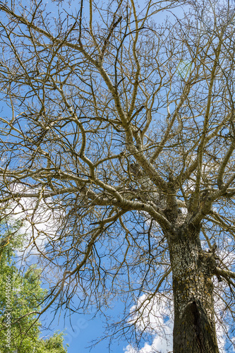 Branchy birch tree with a thick trunk in a forest on a sunny day