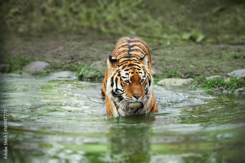 Tiger walking through green river in the jungle