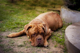 Dogue de Bordeaux lying in the summer