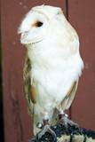 Eagle Owl with big eyes - 164186952
