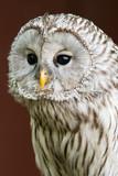Eagle Owl with big eyes - 164187185