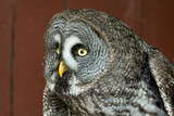 Eagle Owl with big eyes - 164187341