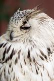 Eagle Owl with big eyes - 164187537