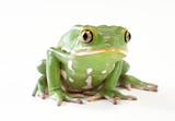 Beautiful and strong Pool frog isolated on white background