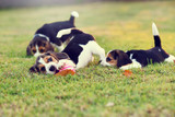 Cute young Beagles playing in garden