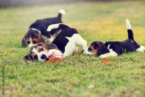 Fototapeta Cute young Beagles playing in garden
