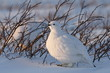 Willow Ptarmigan in front of willows in the arctic in the spring